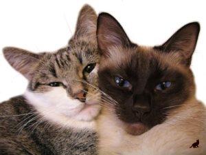 Вязка кошек 3