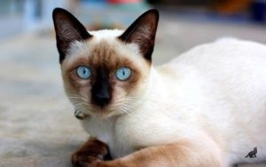 До какого возраста растут кошки 1