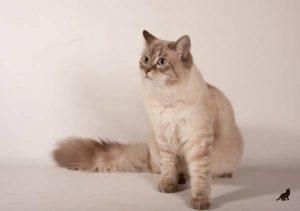 До какого возраста растут кошки 2