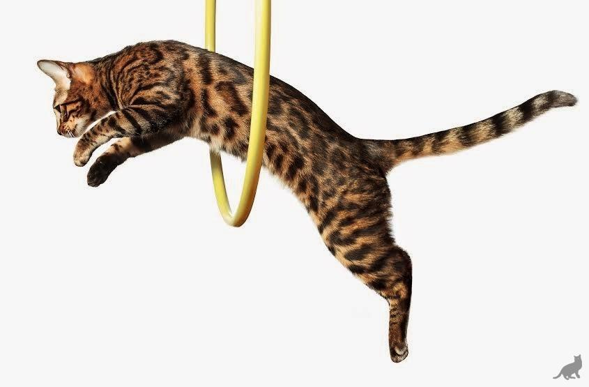 Дрессировка котов