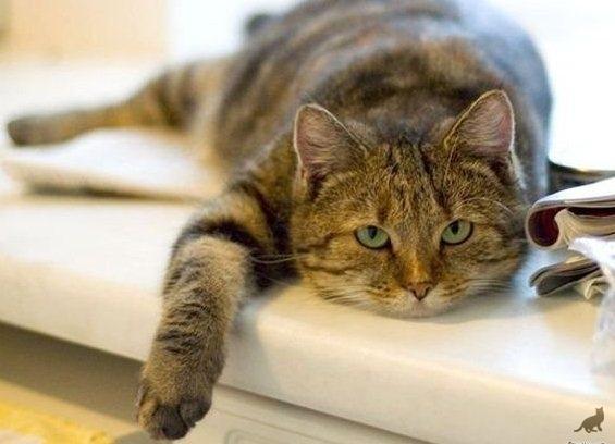 Отравление у кошек симптомы и лечение в домашних условиях