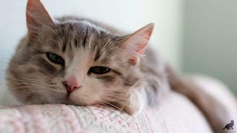 Лечение отравления у кошки