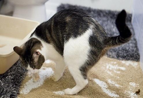 Почему кот начал гадить не в лоток