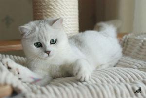 Кошка Шиншилла 1