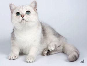 Кошка Шиншилла 2