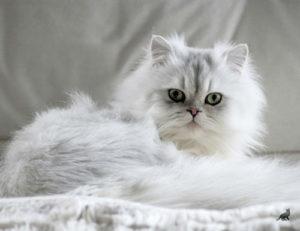 Кошка Шиншилла 5