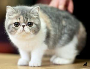 Ласковые породы кошек 1