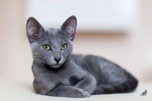 Ласковые породы кошек 2