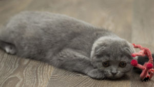 Пиометра у кошек 1