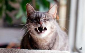 Почему кошка чихает 1