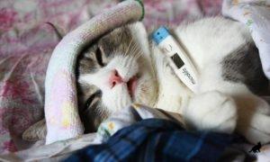 Простуда у кошек 2
