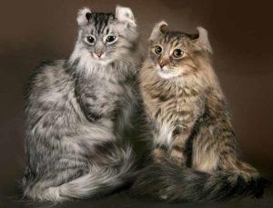 Пушистые породы кошек 1