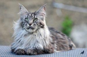 Пушистые породы кошек 3