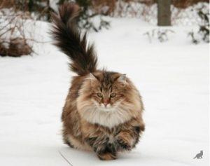 Пушистые породы кошек 4