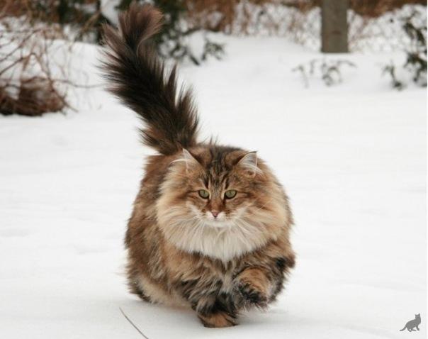 Какая порода пушистого кота