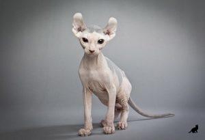 Редкие породы кошек 2