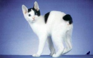 Редкие породы кошек 3