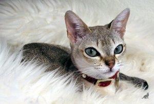 Сингапурская кошка 1