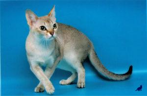Сингапурская кошка 2