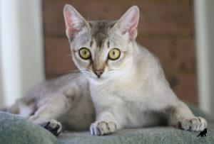 Сингапурская кошка 3
