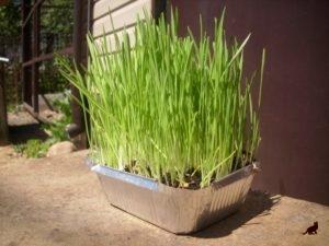 Трава для кошек 3