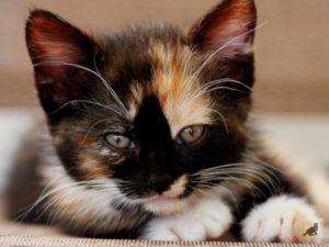 Трехцветная окраска кошек 1