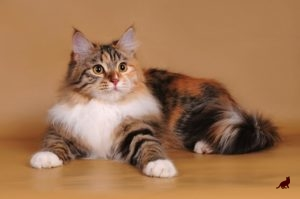 Трехцветная окраска кошек 3