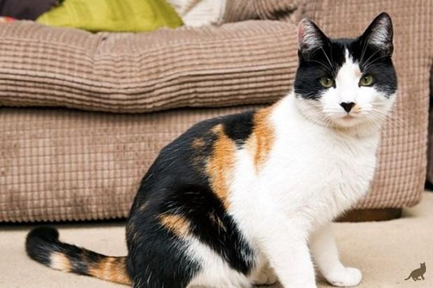 Трехцветная окраска кошек