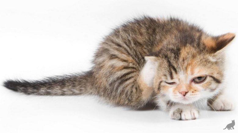 Лечение чесотки у кошки в домашних условиях