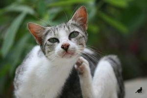 Чесотка у кошки