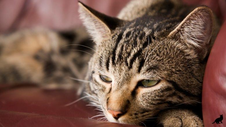 Симптомы и лечение диабета у кошек