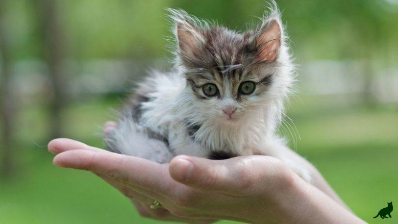 Как приучить кошку к рукам
