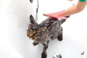 Мытье кота шампунем