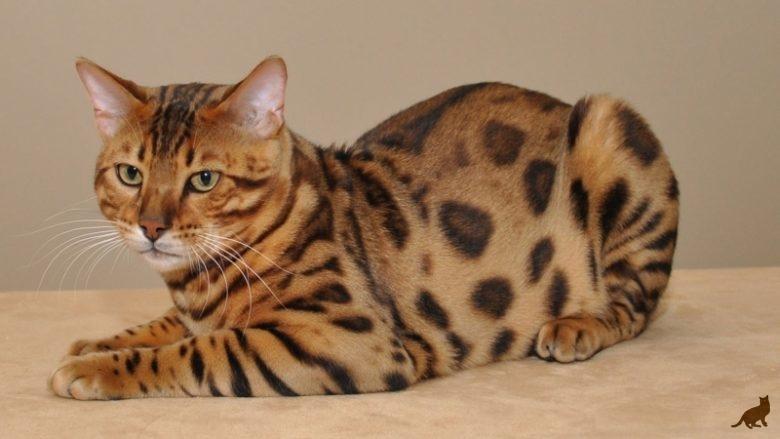 Разновидности пятнистых пород кошек