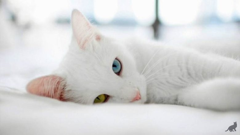 Порода кошек као мани