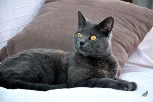 Порода кошек корат стандарт