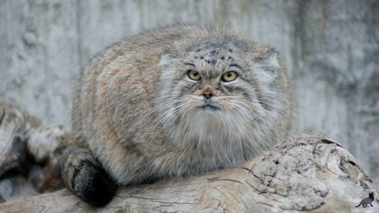 Порода кошек манул