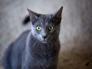 Порода кошек корат характер