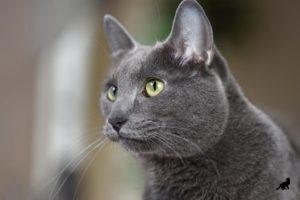 Порода кошек корат происхождение