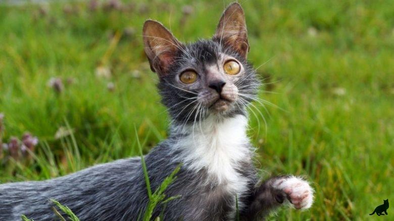 Порода кошек ликои